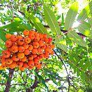 Rowan berries by Arve Bettum
