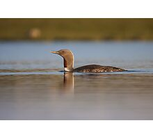 Red-throated diver (Gavia stellata) Photographic Print