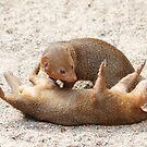 Dwarf mongoose by Arve Bettum