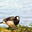 Barnacle goose by Arve Bettum