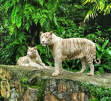 Singapore White Tigers by Dean Cunningham