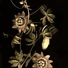 Passiflora Antique by Barbara Wyeth