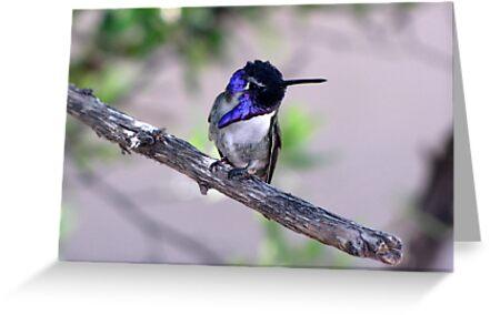 Costa's Hummingbird ~ Male by Kimberly Chadwick