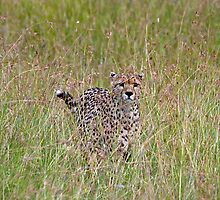 Cheetah in high grass 3 by Valerija S.  Vlasov