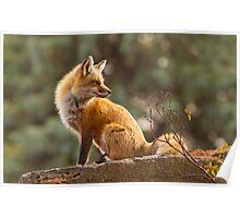 Sunset Fox Poster