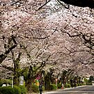 Canopy of Cherry Blossoms by Patty (Boyte) Van Hoff