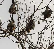 Fruit Bats in tree Warrnambool Botanic Gardens 201306065203  by Fred Mitchell