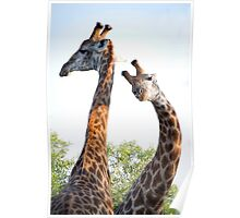 Walking with Giraffes - South Africa Poster