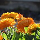 Marigold (Calendula) in the sun by Adam Roper