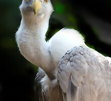 Griffon Vulture....[FEATURED] by John44