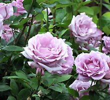 Roses of a different Color  by Jan  Tribe