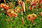Turk's Cap Lilies - Lilium superbum L. - Nodding Beauties by MotherNature
