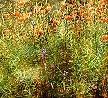 Turk's Cap Lilies - Lilium superbum L. by MotherNature2