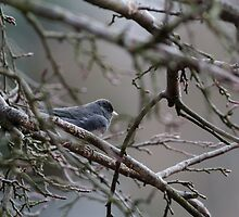 junco by Philip Painter