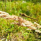 Yellow dragonfly alight on straw by Arve Bettum