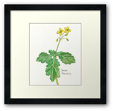 Greater celandine by Sam Burchell