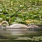 Mute Swan Little Family by KatMagic Photography