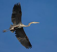 Spread Winged Heron by Thomas Young