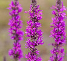 Purple loosestrife by PhotosByHealy