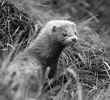 American Mink by ChrisMillsPhoto