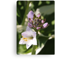 Hosta and Buds Canvas Print