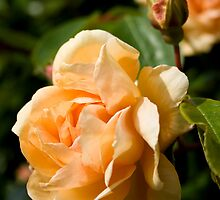 Peach Rose and Bud by Belinda Osgood