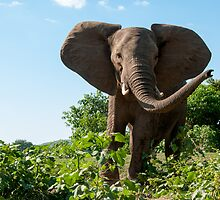 Angry Elephant by Clive S