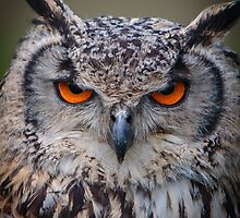 Eyes of an Eagle Owl by Dave  Knowles