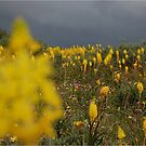 WILD BULBINE'S AT MATJIESFONTEIN, NAMAQUA,WESTERN CAPE, SOUTH AFRICA by Magaret Meintjes