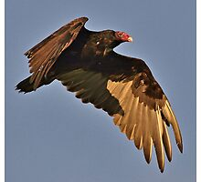 Turkey Vulture in Flight by Dennis Stewart