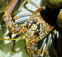 Caribbean Reef Lobster Close Up - Macro Head Photograph by Amy McDaniel