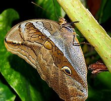 Mournful Brown Owl Butterfly showing his beautiful patterns on its wings by Amy McDaniel