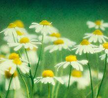 chamomile by lucyliu