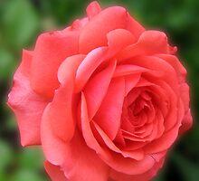 Dreamy Blush Pink Miniature Rose by BlueMoonRose