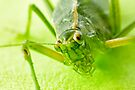 Grasshopper 65mm 2:1 by Yannik Hay