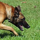 Belgian Malinois - Police K-9 at work by Bine