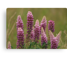 Lupin attracting the bees Canvas Print