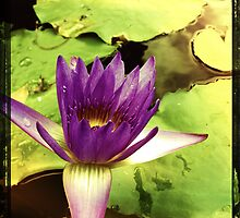 Purple Lily by Niki Smallwood