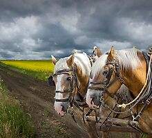 Team of Horses by a Canola Field in Alberta by Randall Nyhof