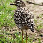 Spotted Thick-knee  by croust