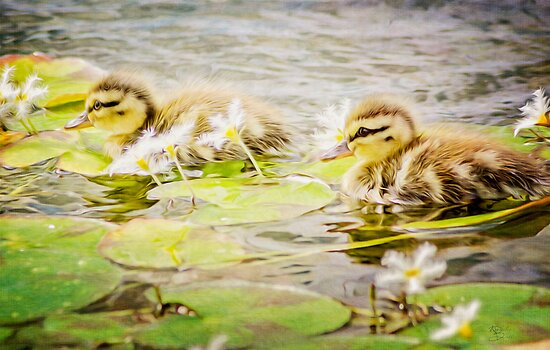 Ducklings by KBritt