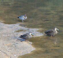 Brown Ducks by KittenFlower