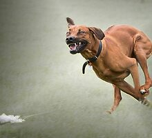 Lure Coursing Hound by Vicki Moritz