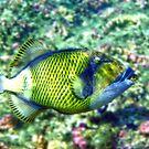 Titan Triggerfish by gruntpig