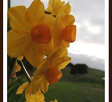 Daffodil Beauty by Jan Legg