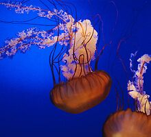 Jelly Fish 2 by Mark McReynolds