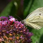 Green Veined White by John Hooton