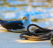 Seagull by mylesfotography