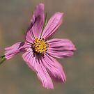 Pink Cosmos! by KatMagic Photography