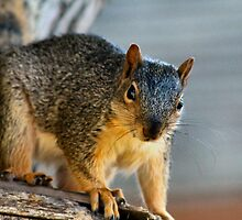 Mr. Curious Squirrel  by Keala